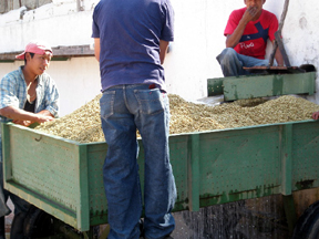 Men turning the coffee beans in large bins to insure the dry evenly