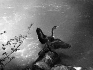 Cormorant with outspread wings on a rock in the lake